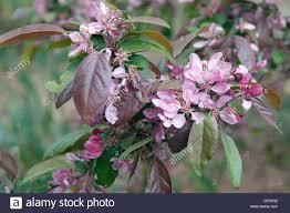 Profusion Flowering Crabapple - malus moerlandsii u0027profusion u0027 crab apple u0027profusion u0027 blossom