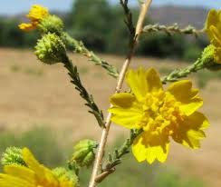 tarweed native plants pen in hand tehachapi tarweed is a unique plant that perfumes the