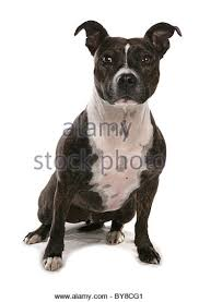 american pitbull terrier in uk staffordshire bull terrier dog uk stock photos u0026 staffordshire