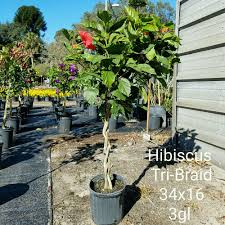 Braided Hibiscus Tree Pictures by Locate U0026 Find Wholesale Plants Plantant Com