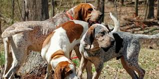 bluetick coonhound name origin american english coonhound information characteristics facts