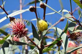 australia native plants native australian plants nelson u0026 rose