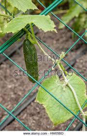 Cucumber Spacing On Trellis Cucumber Cucumis Sativus Growing On Stock Photos U0026 Cucumber