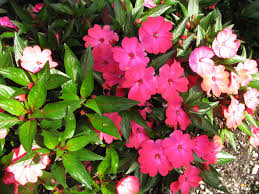 impatiens flowers to grow your best impatiens