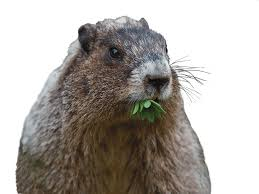 cute groundhog damage bobbex