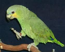 orange winged amazon amazona amazonica orange winged parrot