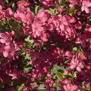 the flowering crab apple tree flowering ornamental trees for