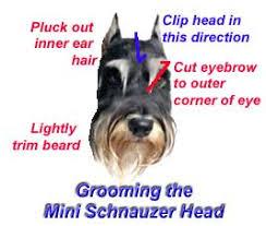 mini schnauzer haircut styles mini schnauzer grooming tips for pets miniature schnauzer australia