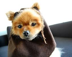 Funny Halloween Costumes Cats 25 Ewok Dog Costume Ideas Small Dog Costumes