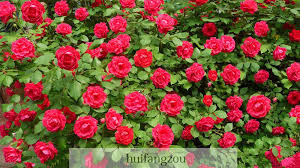 roses for sale hot sale 100 seeds climbing seeds plants spend climbing roses