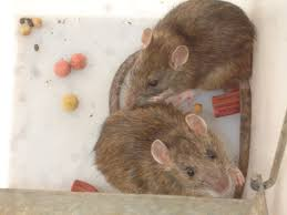 rat proofing and rat removal services in boston mass and