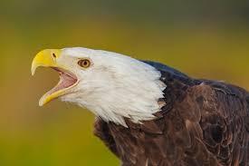 17 best raptors images on pinterest raptors birds of prey and
