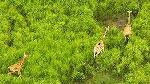 giraffes are being killed for their tails