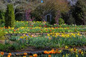 Botanical Gardens In Nc by North Carolina Tulips In Bloom