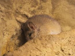 crete spiny mouse wikipedia