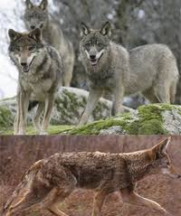 Coyote In My Backyard Difference Between Coyote And Wolf Difference Between