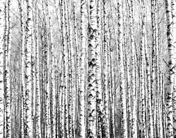 trunks of birch trees black and white stock photo thinkstock