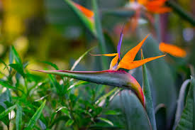 birds of paradise flower how to grow strelitzia bird of paradise