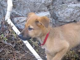 belgian shepherd x greyhound hmm belgian malinois