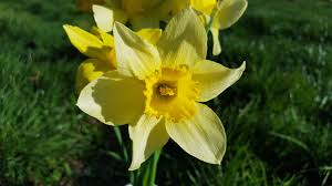 free images petal botany daffodil flora yellow flower