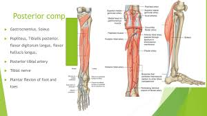 Human Anatomy Martini Lower Limb Anatomy Ppt Video Online Download
