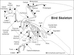Human Anatomy Skeleton Diagram Bird Skeleton Printout Enchantedlearning Com