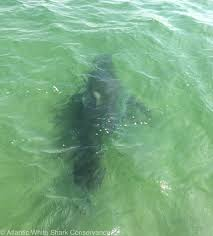a record number of great whites tagged today on cape cod u2013 newport