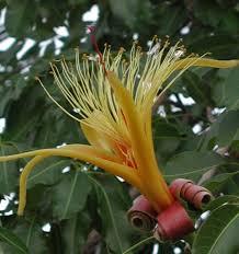 native plants in arizona find trees u0026 learn university of arizona campus arboretum