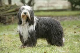 afghan hound collie mix bearded collie dogs and puppies for sale in the uk pets4homes