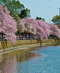 how to get to the cherry blossom trees in dc washington org