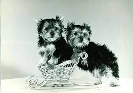 yarrow affenpinscher beverly hills dog show presented by purina u0027 showcases top honors