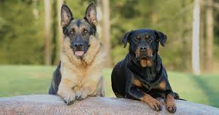 belgian shepherd x rottweiler german shepherd rottweiler mix breed facts information