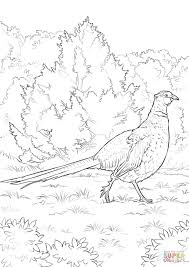 ring necked pheasant coloring page free printable coloring pages