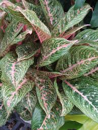 aglaonema photo of the entire plant of chinese evergreen aglaonema u0027pink