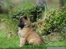 belgian sheepdog puppies price belgian shepherd puppies for sale tervueren milton keynes