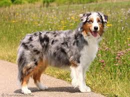 rockin b miniature australian shepherd 4820 best dogs images on pinterest animals dogs and aussie dogs