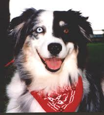 australian shepherd eye color genetics split faces