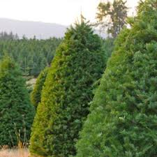 douglas fir pinery trees