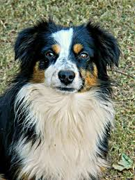 movies with australian shepherds in them 80 best mini australian shepherds images on pinterest animals