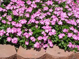 Vinca Flowers Cora Vinca Parks Wholesale Plants