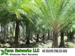 south florida sylvester palm south florida sylvester palm trees