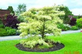 trees for small gardens country gardener
