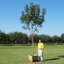 glen flora farms wholesale trees plants list