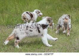 australian shepherd 9 monate nine week old red merle and red tri australian shepherd dogs stock