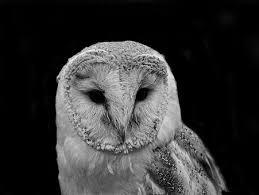 Barn Owl Photography Barn Owl Free Pictures On Pixabay