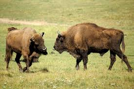 european bison wikipedia
