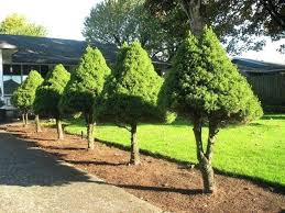 landscaping trees small trees landscaping backyard trees for sale