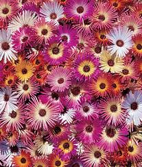 annual flower seeds u0026 plants buy u0026 grow flowers bulbs burpee com