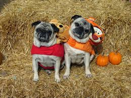 a day in the life of pugs halloween costumes part one