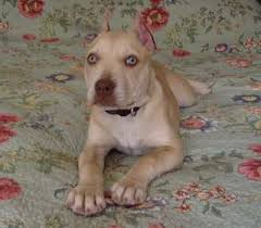 american pitbull terrier dog price bryant u0027s wild ginger female cream colored red nose american pit